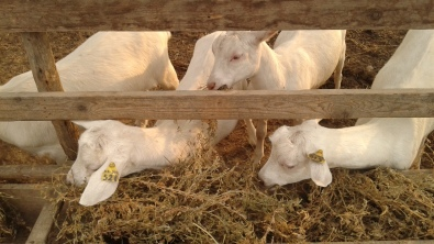 a bunch of cute goats. heaven with alfalfa