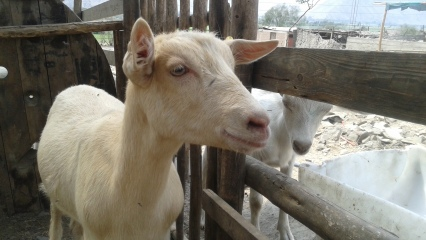 I imagine this older baby goat is giving the younger baby goat good advice in this photos. Important things like where to find a good piece of fence to chew on.