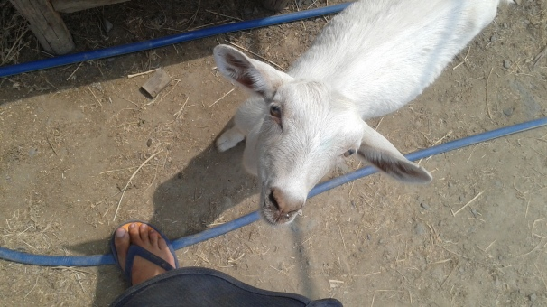 My little goat buddy!