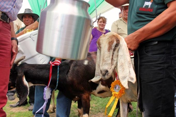goat who won a prize