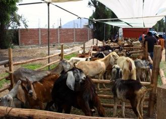 lots o goats