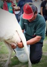 milking3