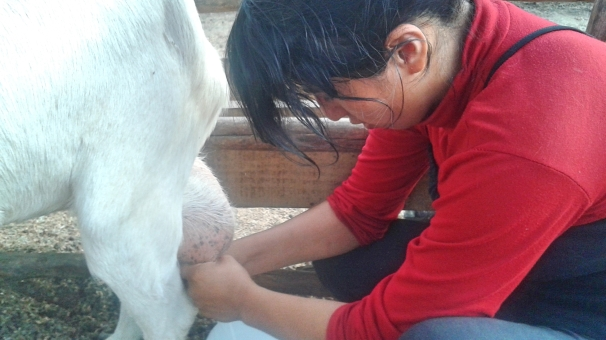 Norca, also not a goat, is here milking. She is the milking queen. She also makes delicious food and is always laughing :)
