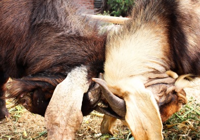 two goats fighting1