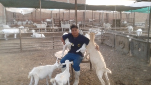 Kenji the vet student playing with the baby goats. It's fun!