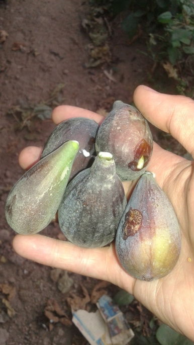 fresh figs I picked from across the street!