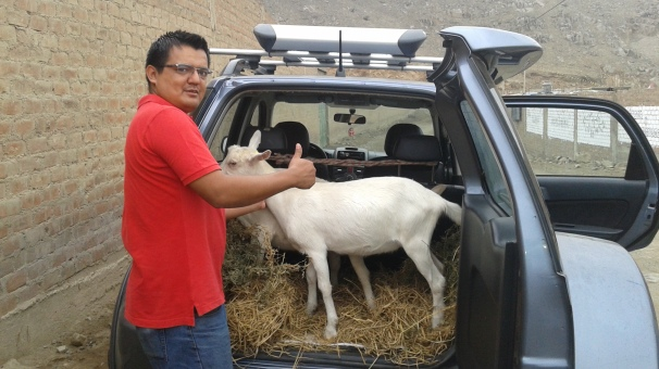 someone came and bought some goats so he can give his children fresh milk. And he took them home in the back of his SUV.